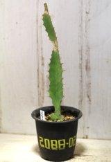 トゲトゲが強烈です! [多肉][トウダイグサ科][ユーフォルビア][柱状タイプ] オオマトイ Euphorbia triangularis #2088-02