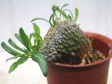 レアな突然変異個体(一文字綴化)!    [多肉][キョウチクトウ科][パキポディウム]  ラメリー冠 Pachypodium lameri f. monst #002