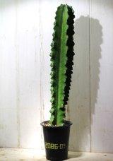 大きめきました! [多肉][トウダイグサ科][ユーフォルビア][柱状タイプ] E.アマック/大戟閣(だいげきかく) Euphorbia ammak  #2086-03