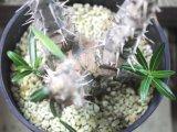 ロスラーツムとして入荷した株です!    [多肉][キョウチクトウ科][パキポディウム]  パキポディウム・ロスラーツム(?) Pachypodium sp.sf.rosulatum  #171