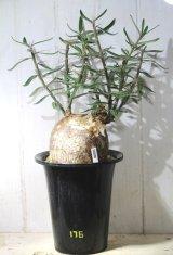 細長い刺があるパキポ!  [多肉][キョウチクトウ科][パキポディウム]  天馬空 / P.サキュレンツム Pachypodium succulentum #176