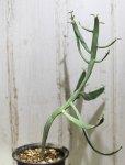 画像2: ペラペラ系! [多肉][トウダイグサ科][ユーフォルビア][緑枝類] 硬葉キリン(ヘラサンゴ)Euphorbia xylophylloides #890-03 (2)