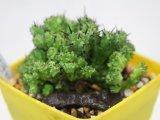 成長が楽しみな群生株です! [多肉][トウダイグサ科][ユーフォルビア][柱状タイプ] 紅彩閣・冠(綴化)Euphorbia enopla f.monst