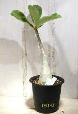 広葉タイプ! [多肉][キョウチクトウ科][アデニウム] アデニウム・タイ・ソコトラナム・バングキラー Adenium thai socotranum bang killer #191-01
