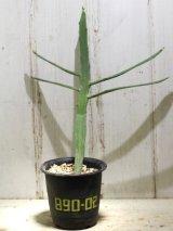 ペラペラ系! [多肉][トウダイグサ科][ユーフォルビア][緑枝類] 硬葉キリン(ヘラサンゴ)Euphorbia xylophylloides #890-02