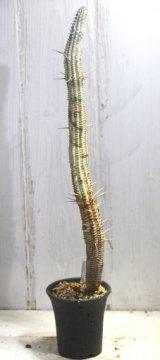 長いの来ました! [多肉][トウダイグサ科][ユーフォルビア][柱状タイプ] 白樺キリン L #052-04  Euphorbia mammillaris cv.'Variegata'