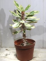 斑入りの葉っぱが綺麗ですね! [多肉][トウダイグサ科][ユーフォルビア][花キリンタイプ] 花キリン錦 Euphorbia milii f.Variegata