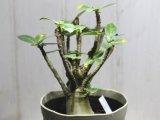 末広がりの塊根から伸びた多数の枝が素敵! [多肉][キョウチクトウ科][アデニウム] アデニウム・アラビカム Adenium arabicum #040