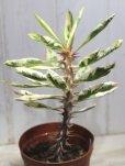 画像3: 斑入りの葉っぱが綺麗ですね! [多肉][トウダイグサ科][ユーフォルビア][花キリンタイプ] 花キリン錦 Euphorbia milii f.Variegata (3)