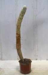 長いの来ました! [多肉][トウダイグサ科][ユーフォルビア][柱状タイプ] 白樺キリン L #001  Euphorbia mammillaris cv.'Variegata'