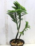 画像2: ユーフォルビアの近縁種! [多肉][トウダイグサ科][ペディランサス] P・ティティマロイデス・ナナ・コンパクタ Pedilanthus tithymaloides nana compacta [その2]     (2)