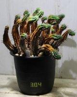 整列してます! [多肉][トウダイグサ科][ユーフォルビア][柱状タイプ] フェロックス /金碧塔 /勇猛閣 Euphorbia ferox #304 群生