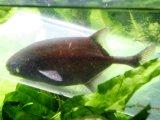 通称:ボベイ (ポリミルス・アドスペルスス) 成魚