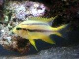 黄色と黒のストライプが綺麗です! ヒレナガスズメダイ