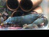 超デカ!選別ブルー個体! アフリカン・ジャイアントロックシュリンプ ブルーLLサイズ
