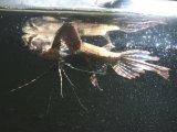 小型の古代魚!飛びます! バタフライフィッシュ