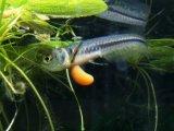 アロワナと言えばこの魚! シルバーアロワナ(ベビー)