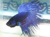 水中の美しき踊り子! クラウンテール・ベタ (ブルー)