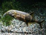色つきの象鼻魚! ダブルトランク・エレファント (ワイルド)