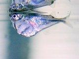 たまに入荷します。水面付近をただよい泳ぐ魚。 マーブルハチェット(@税抜320円) 10匹セット(9匹+補償1匹)