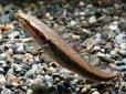 画像1: [完売です!]インボイスはこの名前! アフリカン・シェブロンスネークヘッド SSサイズ (1)