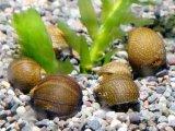 ガラス面のコケ取りNO1 [淡水/汽水貝][コケ取り] 石巻貝 30匹(27匹+補償3匹)