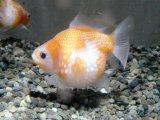 大人気!丸くてカワイイ金魚! ピンポンパール MSサイズ