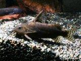 がっしりとした体型の小型種です! シノドンティス・ロビアヌス
