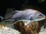 変な魚です! アジア淡水イシモチ