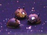 サザエイシマキ貝(イガカノコ貝)
