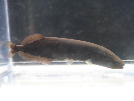 画像1: 尾筒が短くカワイイ種類! モルミロプス・ニグリカンス
