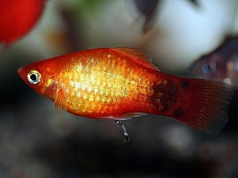 画像1: 飼育・繁殖容易なカワイイお魚! レッドミッキーマウスプラティ(@税抜114円) 10匹セット(9匹+補償1匹)