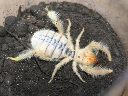 画像1: 世界三大奇蟲! ヒヨケムシ(ヘアリー)