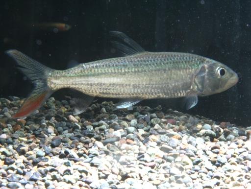 画像1: アフリカの牙魚! タイガーフィッシュ