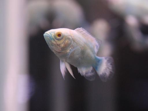 画像1: ブルーが綺麗! ブルーベリーオスカー
