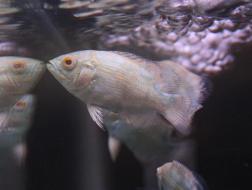 画像2: ブルーが綺麗! ブルーベリーオスカー