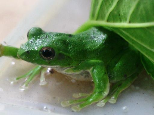 画像3: [完売です] 日本固有種。緑色がかわいいです! モリアオガエル♂