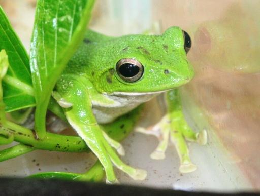 画像1: [完売です] 日本固有種。緑色がかわいいです! モリアオガエル♂