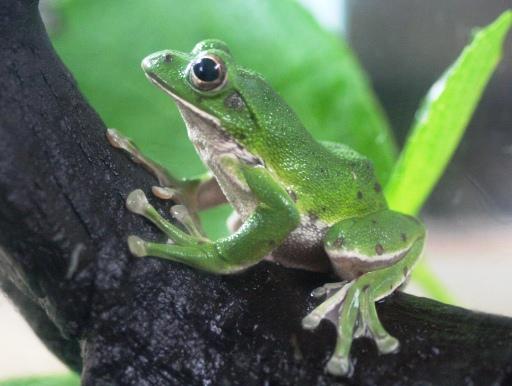 画像2: [完売です] 日本固有種。緑色がかわいいです! モリアオガエル♂