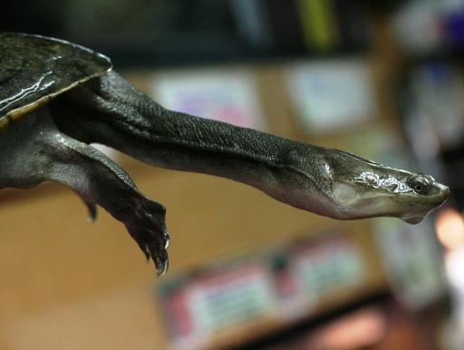 画像3: 【完売です!】 首長竜みたいでかっこいい!大きめ! ジーベンロックナガクビガメ