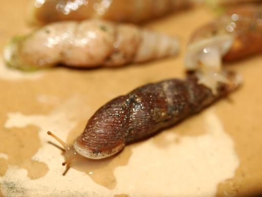 画像1: 長細いカタツムリです!  オキナワキセルガイ