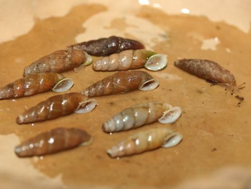 画像2: 長細いカタツムリです!  オキナワキセルガイ