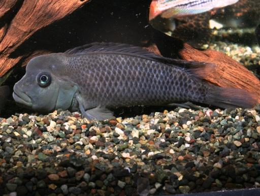 画像1: アフリカ河川産シクリッド! ライオンヘッドシクリッド