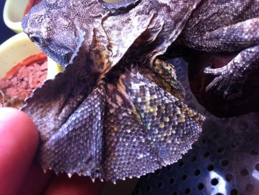 画像2: 驚くと開いて威嚇します! エリマキトカゲ