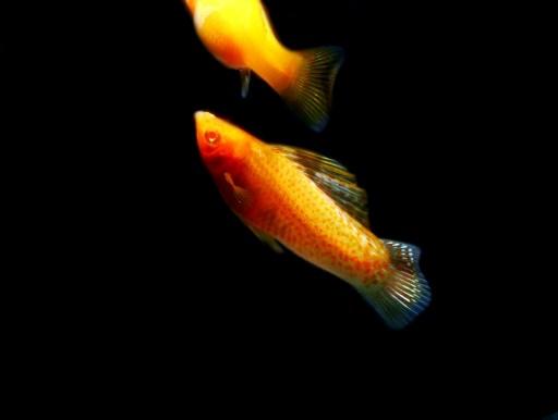 画像1: 赤い目とオレンジ色の体が綺麗です! ゴールデン・セルフィンモーリー(ペア)