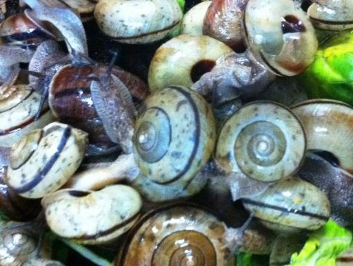 画像1: 【要予約】 陸貝食の爬虫類や昆虫などに! エサ用カタツムリ 45匹+5匹