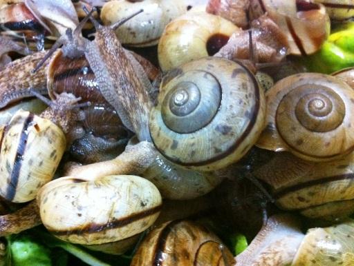 画像2: 【要予約】 陸貝食の爬虫類や昆虫などに! エサ用カタツムリ 45匹+5匹