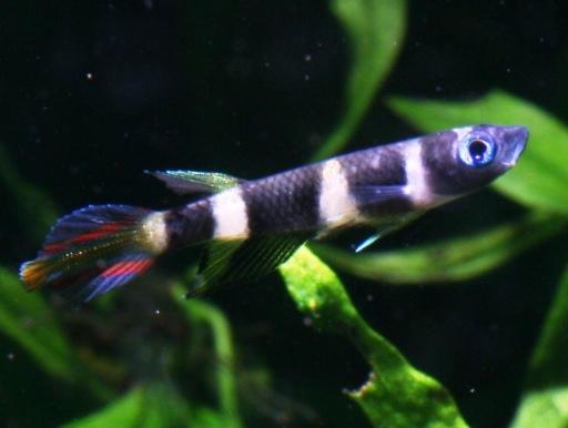 画像1: 小型美魚!小さいけど目立ちますね! クラウン・キリー(@税抜238円) 10匹セット(8匹+補償2匹)