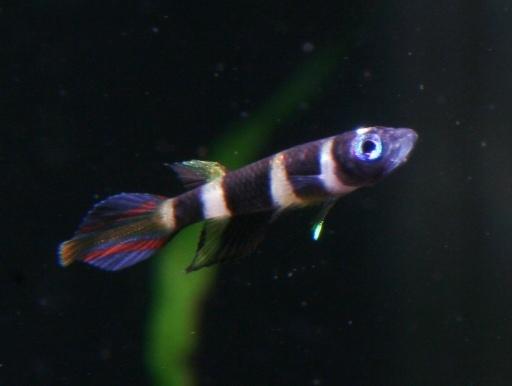画像2: 小型美魚!小さいけど目立ちますね! クラウン・キリー(@税抜238円) 10匹セット(8匹+補償2匹)