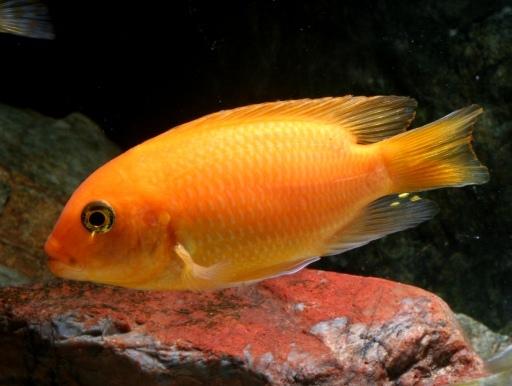 画像1: 【完売です】 丸くてかわいい改良品種! オレンジゼブラシクリッド・ショートボディ